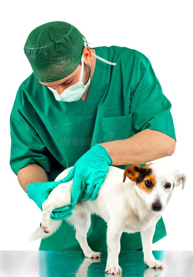 兽医审查狗的臀部 库存图片