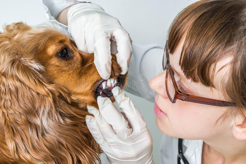 兽医检查牙对狗 免版税库存图片