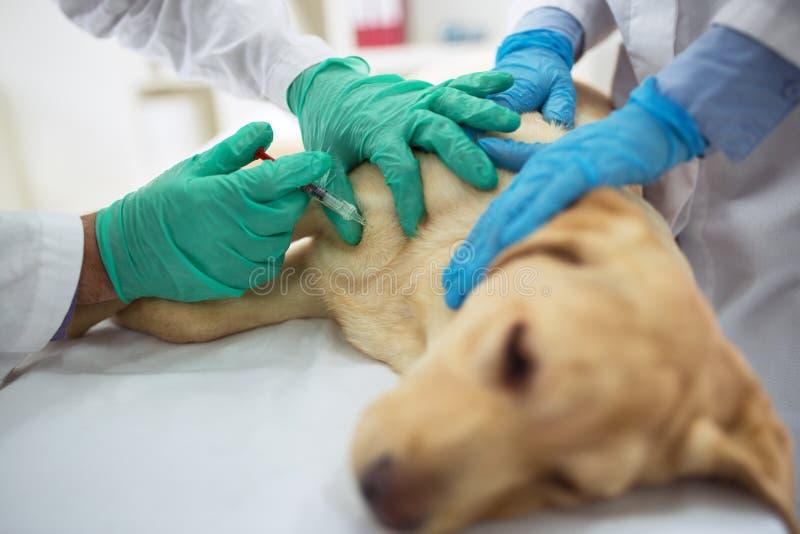 兽医给疫苗狗 免版税库存图片