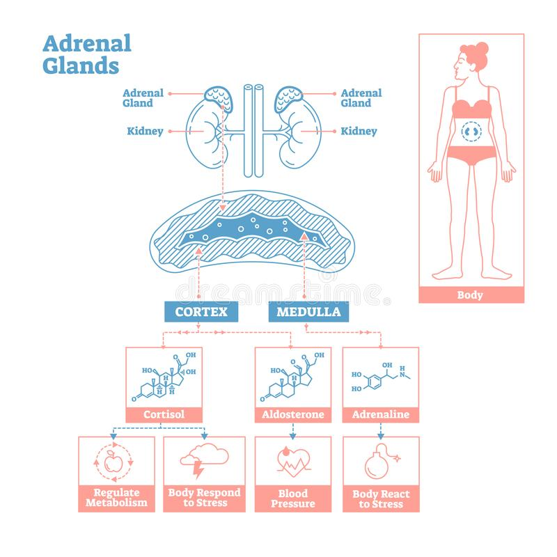 内分泌系统的肾上腺 医学传染媒介例证图 库存例证