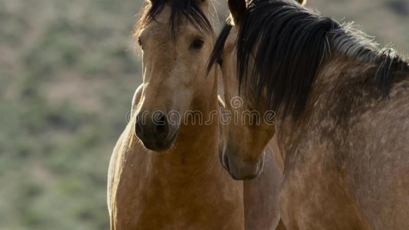 内华达的野马,野生野马马牧群在高内华达沙漠山的 库存图片
