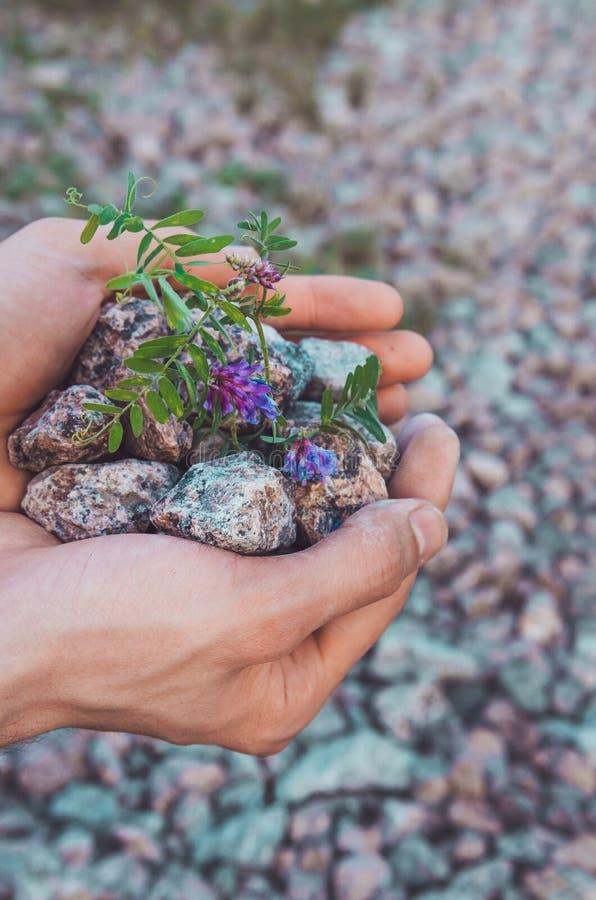 内在平衡概念:拿着与紫罗兰色花,土地背景的男性手石头 地球日,友好的eco 自然墙纸 免版税库存照片
