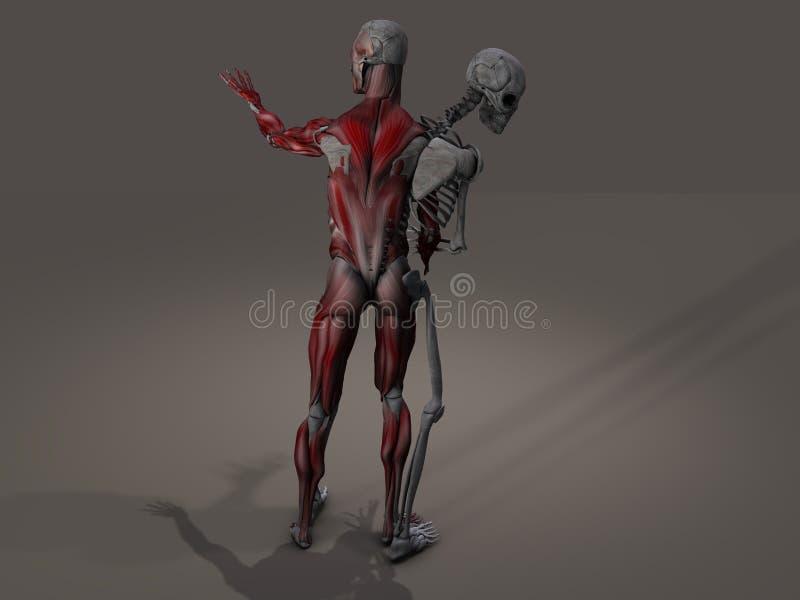 内在骨骼和肌组织分界 皇族释放例证