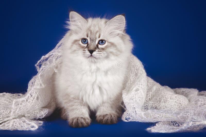 内娃化妆舞会,在一个被编织的头巾下的三个月蓬松美丽的白色小猫与蓝