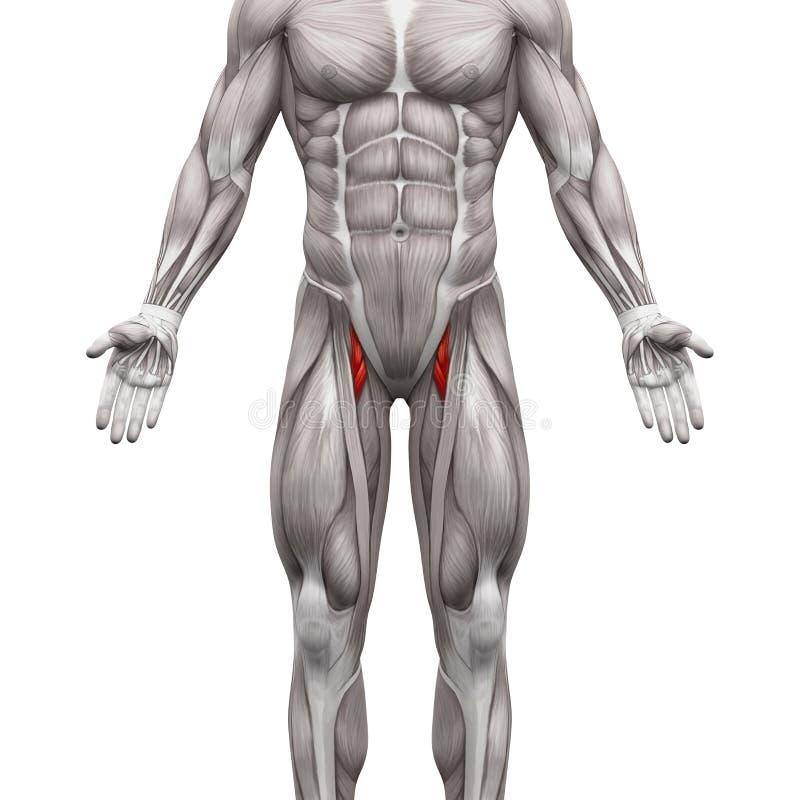内收肌腓骨和内收肌Longus肌肉-解剖学干涉iso 库存例证