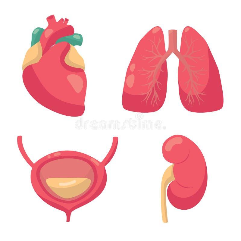 内脏传染媒介例证 心脏,肺,膀胱,肾脏传染媒介图画  向量例证