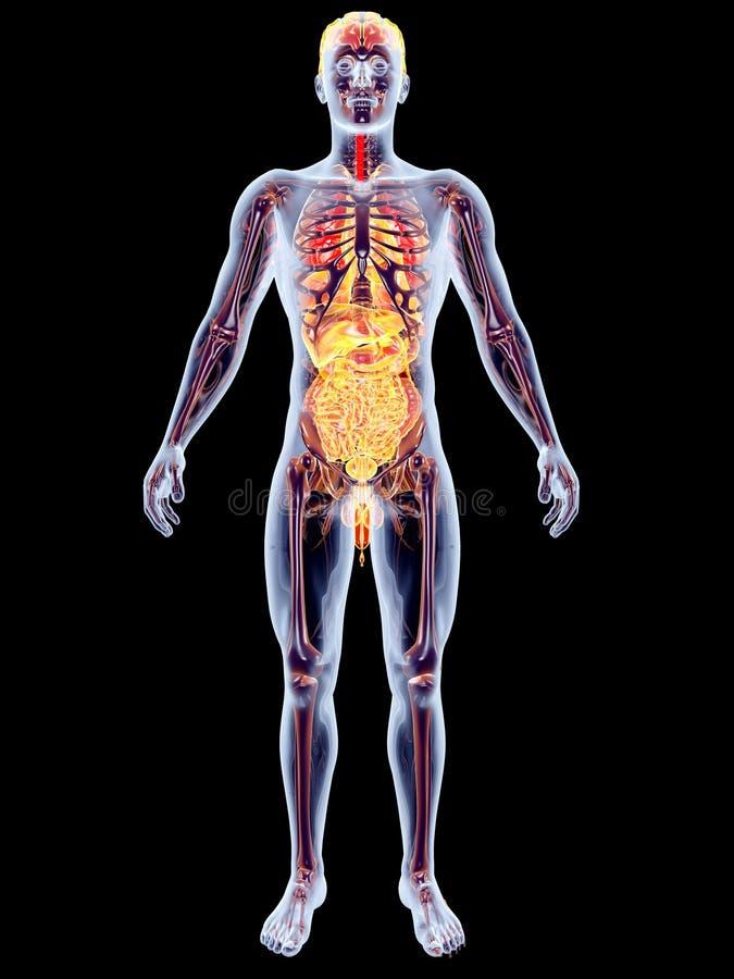 内脏 向量例证
