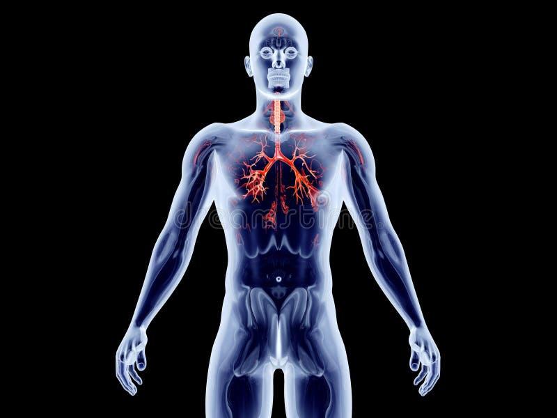 内脏-支气管动脉 库存例证