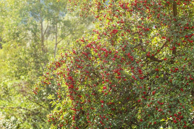 内陆的山楂树山楂属laevigata树用红色莓果,发光在背景中的太阳 库存图片