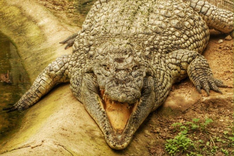再见以后,鳄鱼 库存图片