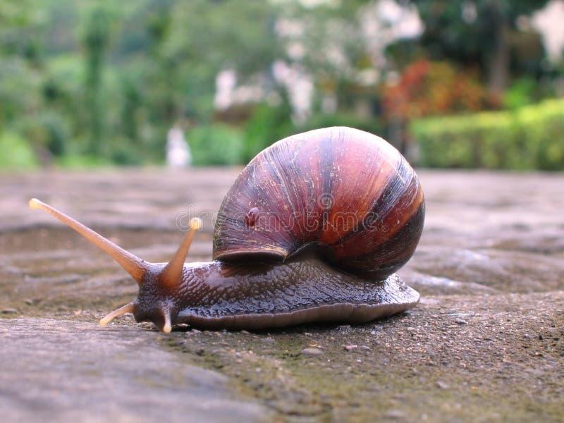 Download 再路 库存照片. 图片 包括有 二形人, 蜗牛, 螺旋, escargot, 英尺, 腹足动物, 爬行, 结构树 - 182282