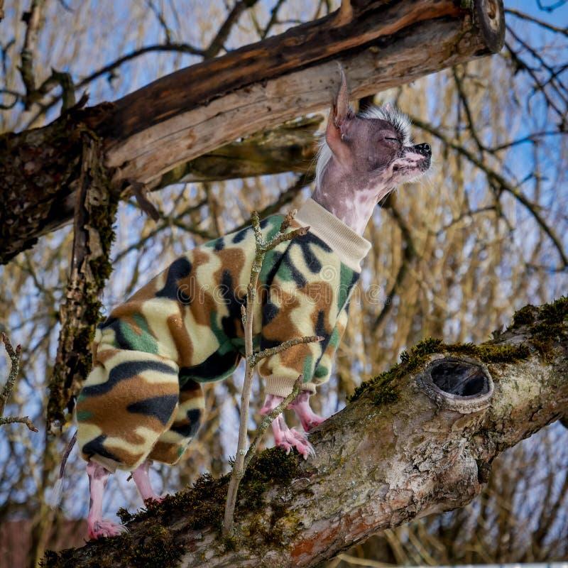 军事在树的样式秘鲁无毛和奇瓦瓦狗混合狗 免版税库存图片