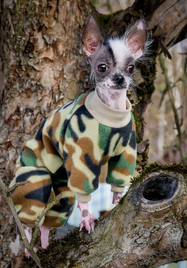 军事在树的样式秘鲁无毛和奇瓦瓦狗混合狗 库存照片