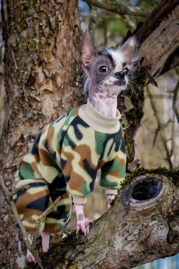 军事在树的样式秘鲁无毛和奇瓦瓦狗混合狗 库存图片
