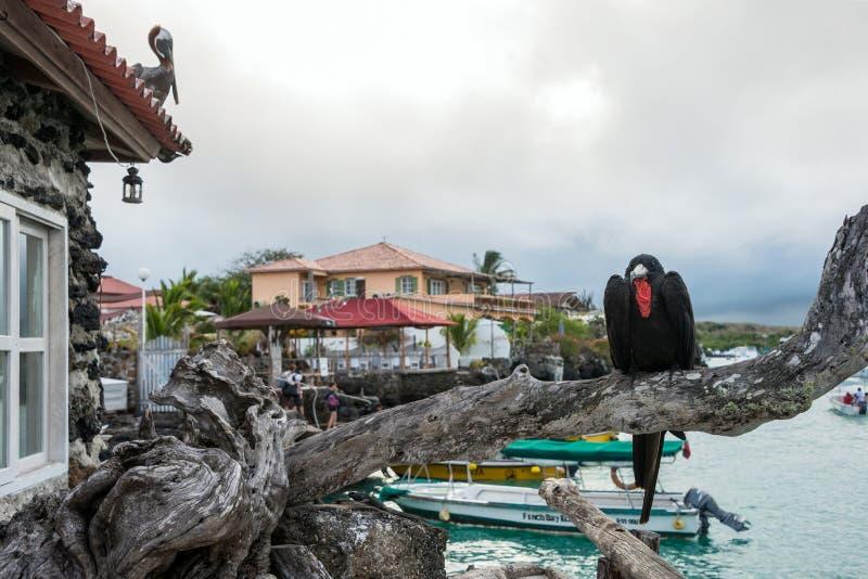 军舰鸟坐在院的背景的一个分支 库存图片