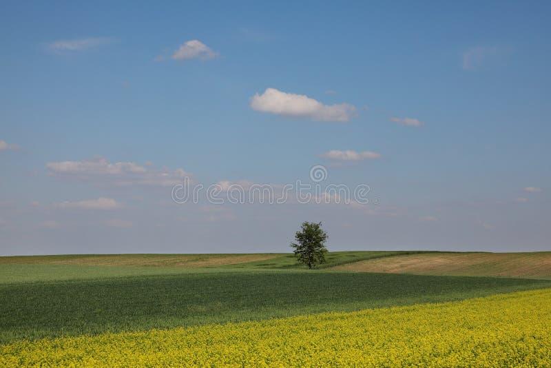 农业、开花的油菜和绿色培养的麦田在春天有天空蔚蓝和白色云彩的 免版税库存照片