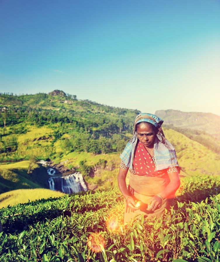 农业农业学家收获茶庄稼概念 库存图片