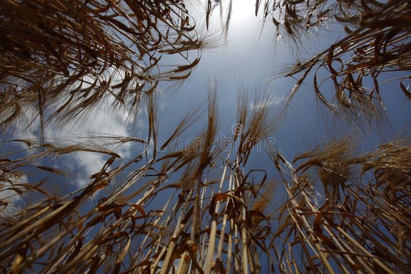 农业域食物生长草甸本质麦子 图库摄影