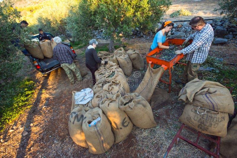 农业学家在克利特,橄榄油产品的希腊过滤被收获的新鲜的橄榄并且放他们入在一个领域的大袋 免版税图库摄影
