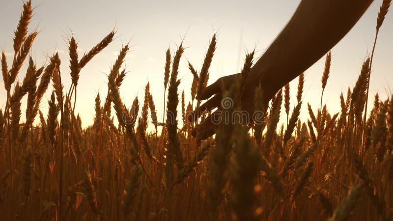 农业学家检查成熟麦子的领域 农夫递接触麦子的耳朵在日落 麦田的农夫 库存图片