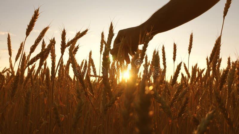 农业学家检查成熟麦子的领域 农夫递接触麦子的耳朵在日落 麦田的农夫 库存照片