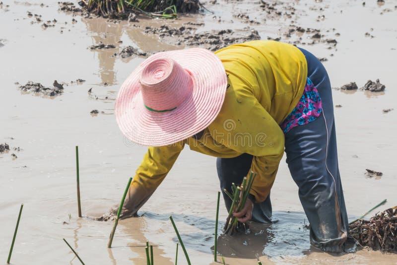 农业学家移植纸莎草 免版税库存照片