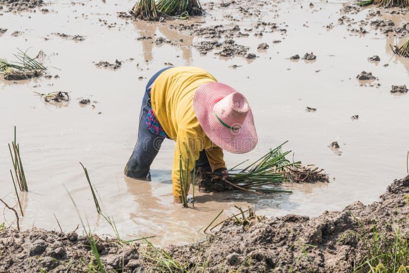农业学家移植纸莎草 免版税库存图片