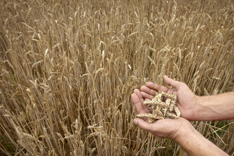 农业工人麦子 库存图片