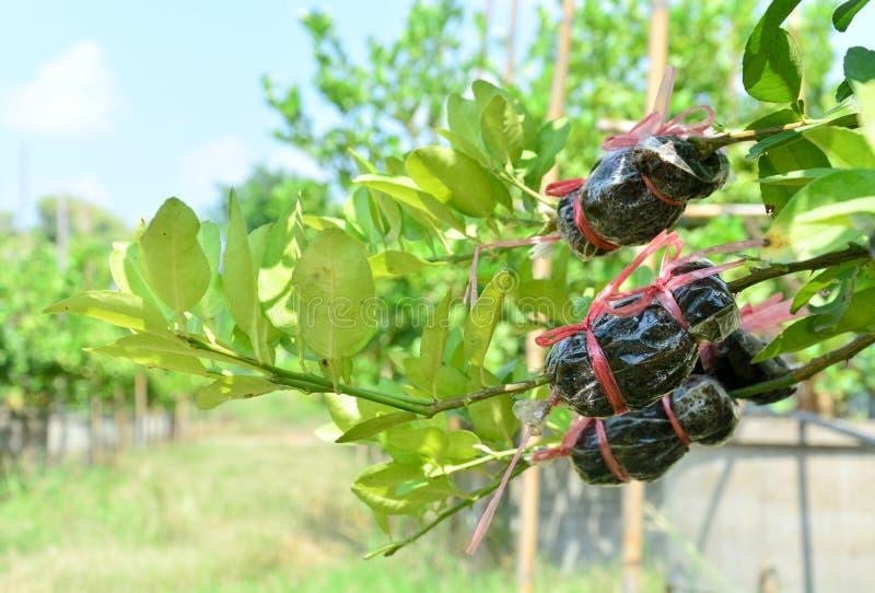 农业技术,嫁接在柑橘分支 库存图片