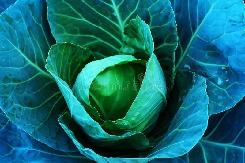 农业新鲜的圆白菜在无毒农场 从农村泰国 免版税库存照片