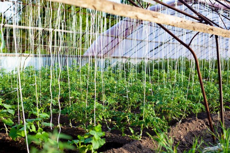 农业温室用蕃茄阻塞与绳索 免版税库存图片