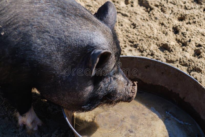 农业猪肉贪心小猪,食物桃红色 库存照片