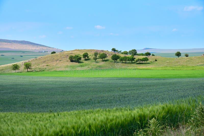 农业绿色麦子和黑麦领域,显示在层数,与一个小组在小山的被隔绝的树在距离 免版税库存图片