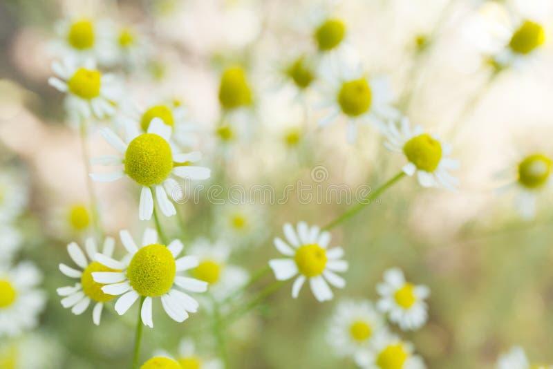 农业草本春黄菊,黄色植物背景 r 免版税库存照片