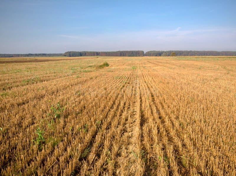 农业领域被切开的庄稼寄生虫摄影  免版税库存图片