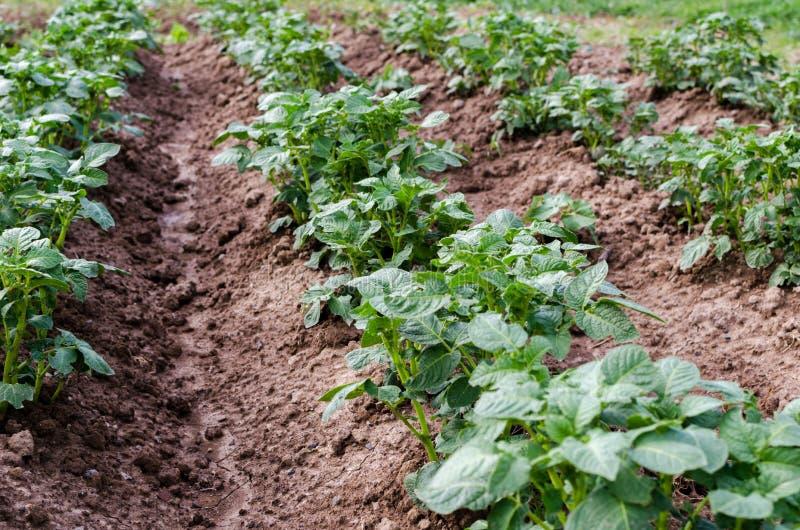 农业 一个生长年轻土豆的照片在庭院里 库存图片