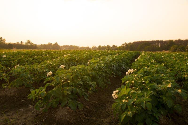 农业-土豆调遣晚上时间的农场 库存照片