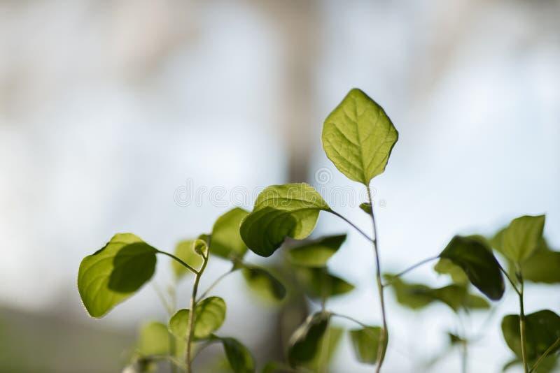 农业 幼木生长植物  植物幼木 年轻婴孩种植生长在肥沃的萌芽序列 免版税库存图片