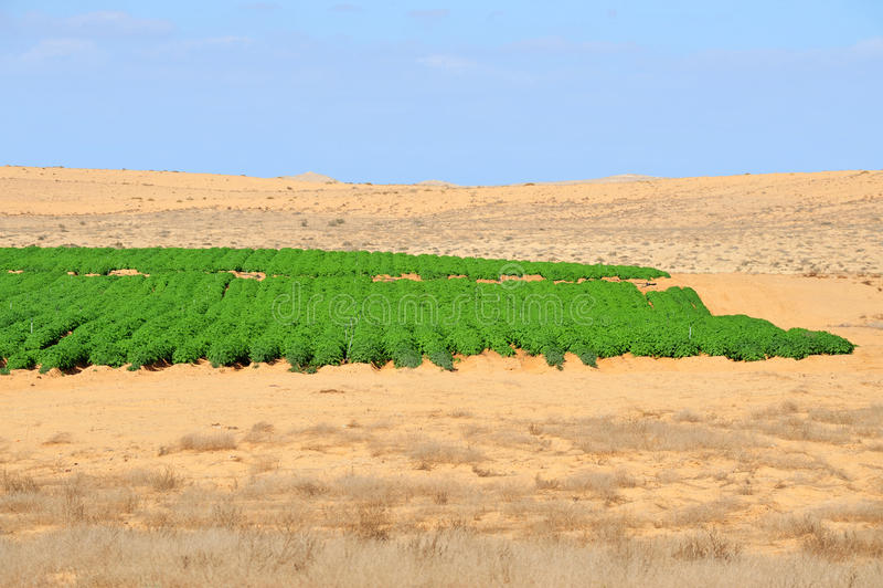 农业-生长在沙漠 库存照片