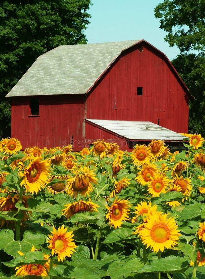农厂向日葵 库存照片