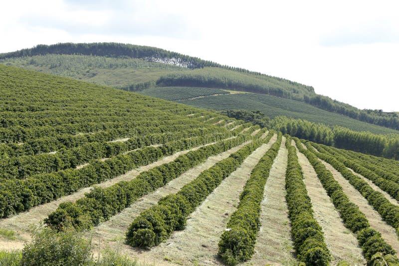 农厂咖啡种植园在巴西 免版税库存图片