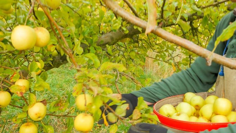农厂工人位置新近地收获了极品苹果入捡取器的袋子 图库摄影