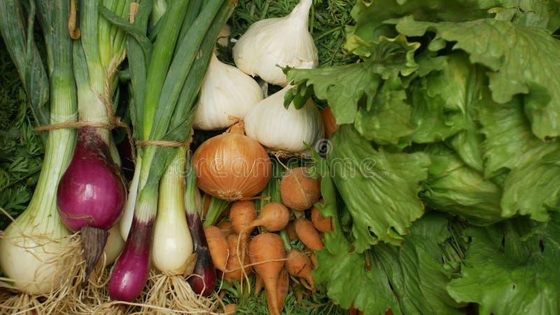 农厂有机蔬菜直接地从庭院红萝卜,黄色和红洋葱,大蒜,绿色莴苣沙拉,全部在木头 免版税库存照片