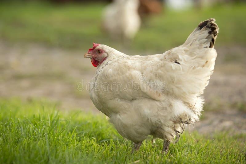 农厂母鸡 免版税库存图片