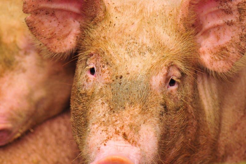 农厂猪 免版税库存图片