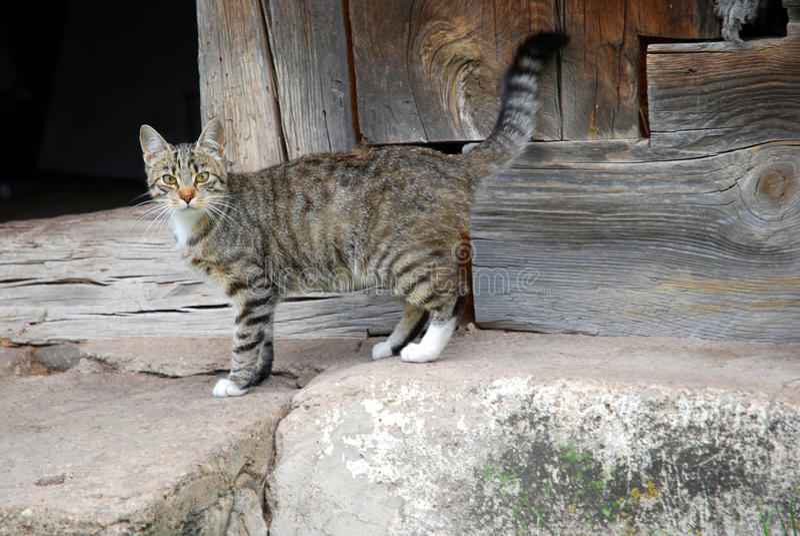 农厂猫 免版税图库摄影