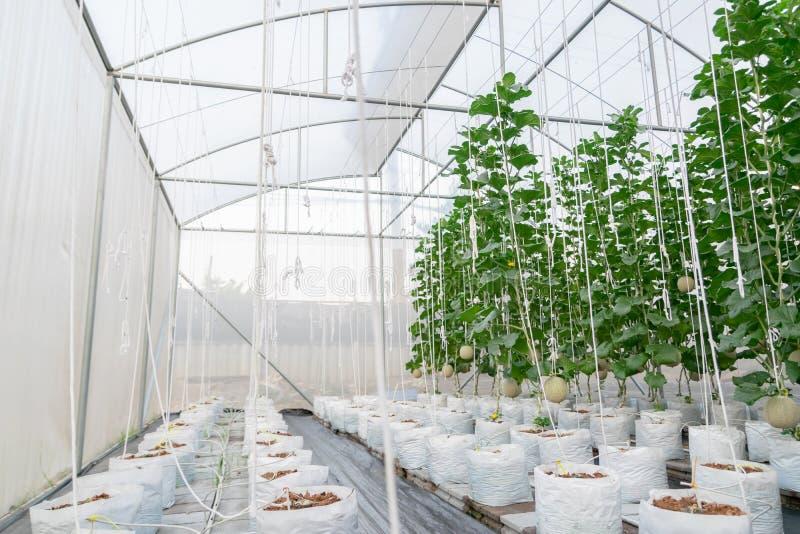 农厂生长以绿色的瓜植物 库存照片