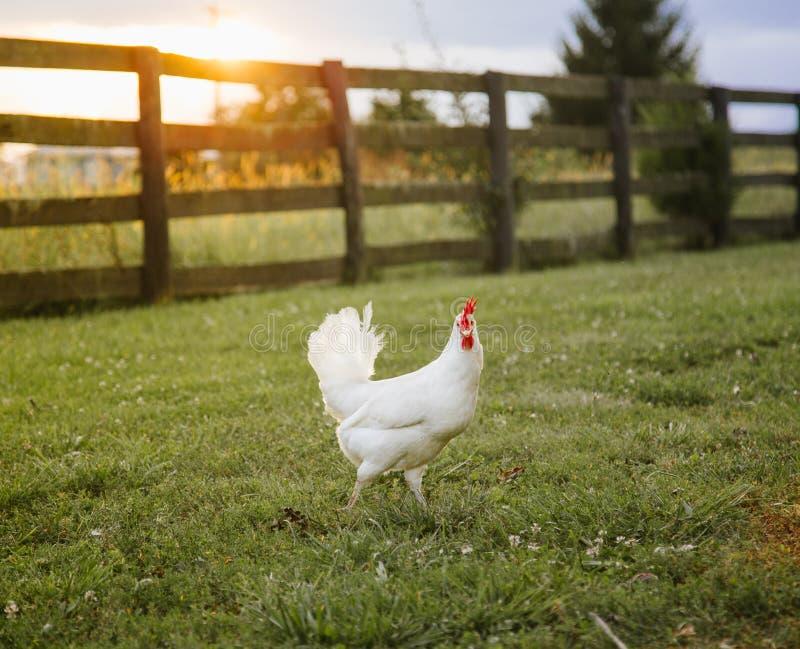农厂鸡 库存照片
