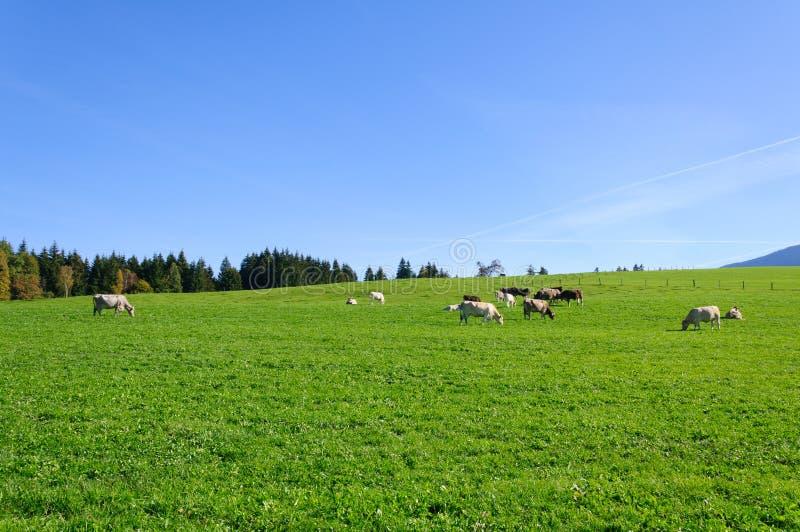 农场和母牛 免版税库存照片