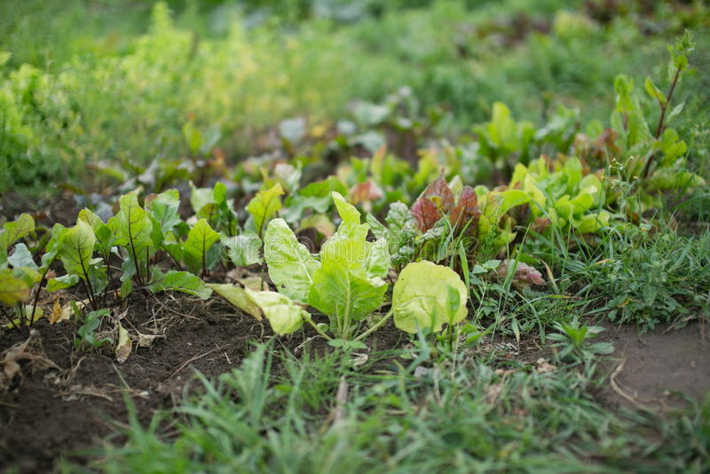 农场的年轻甜菜根植物 免版税库存图片